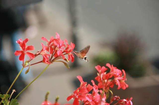 hummer moth