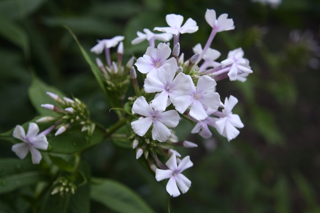 Garden phlox. (photos by Jennifer Baumbach)