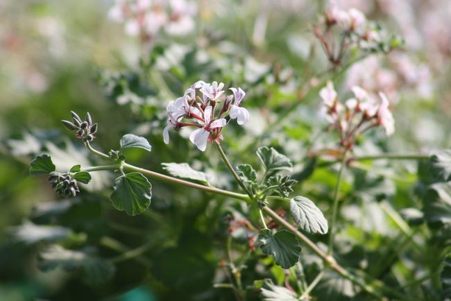Nutmeg-scented geranium.