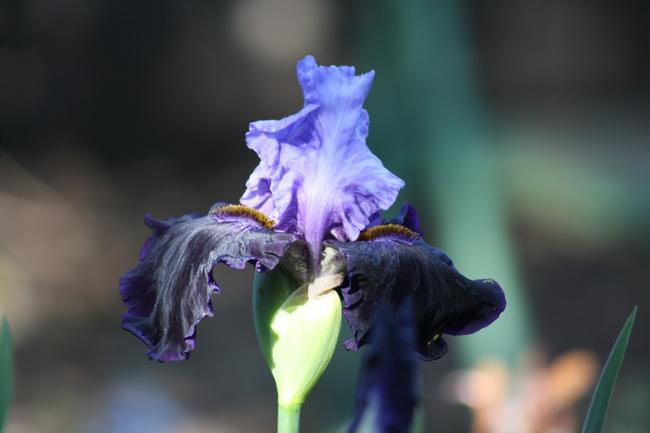 'Dangerous Mood' iris photo by Jennifer Baumbach