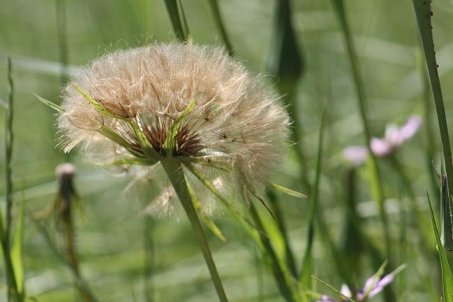 Salsify flower. (photos by Jennifer Baumbach)