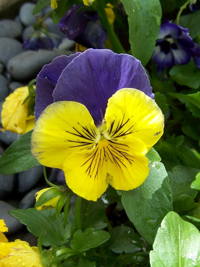 Pansy (photos by Libbey McKendry)