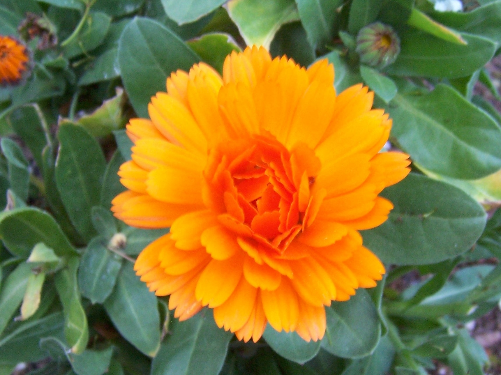 Under The Solano Sun Agriculture And Natural Resources Blogs How To Draw A Family Tree Diagram Ehow Uk Calendula