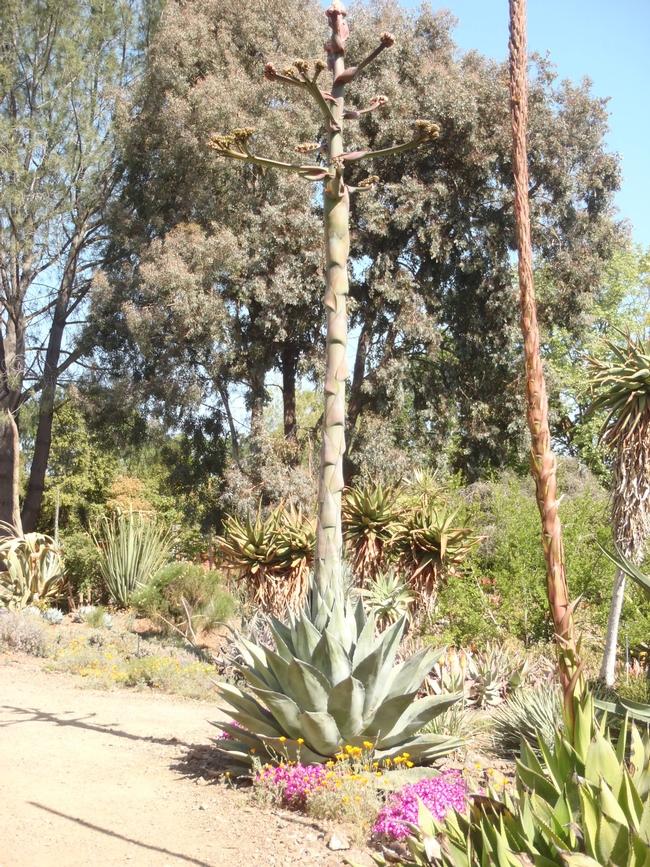 agave ruth bancroft