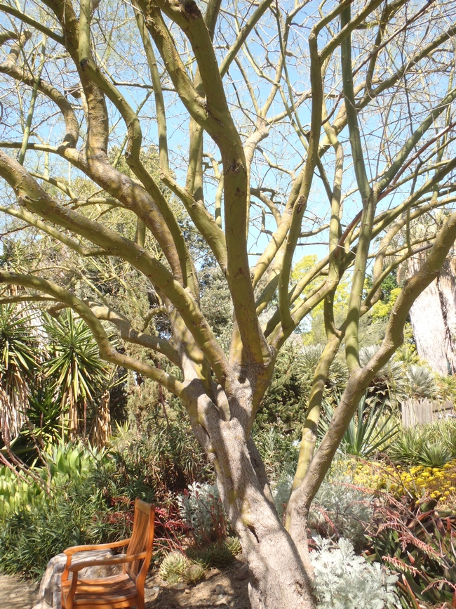ruth bancroft tree