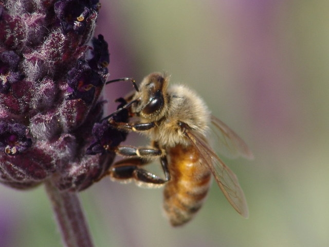 Honeybee on lavender. (photo by Thomas C. Tucker)