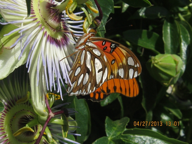 Fritillary butterfly on Passion Flower.