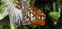 Fritillary butterfly on Passion Flower. for Under the Solano Sun Blog