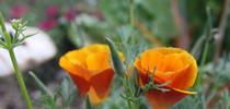 California poppy. (photo by Jennifer Baumbach) for Under the Solano Sun Blog