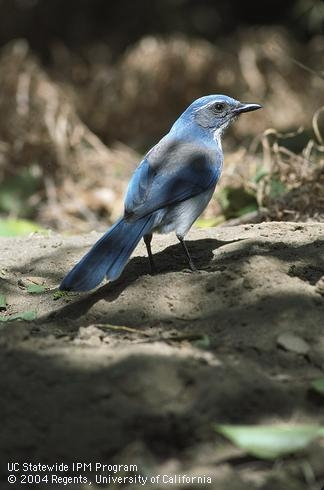 Noisy scrub jays thrive throughout California. They can be aggressive pests, but are lovely to look at. (photo by Jack Kelly Clark, UC Statewide IPM Program)