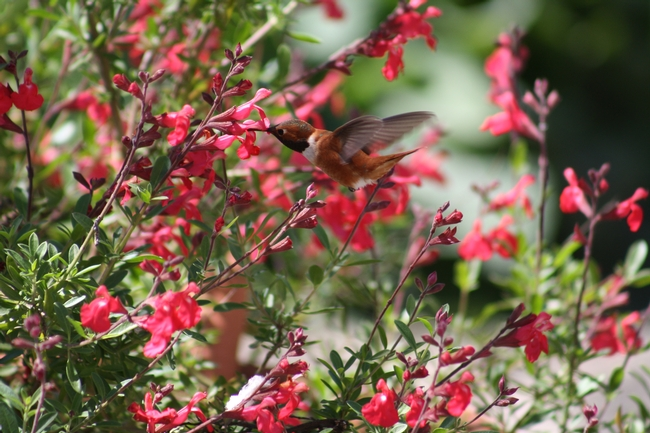 Rufous hummingbird visiting a 'Lipstick' sage. (photo by Jennifer Baumbach)