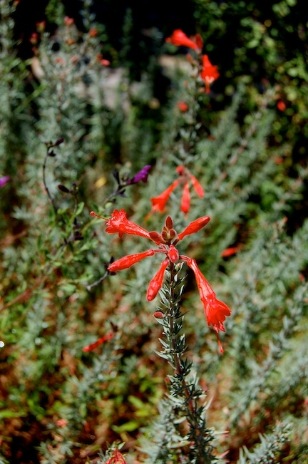 California fuchsia (Epilobium canum).