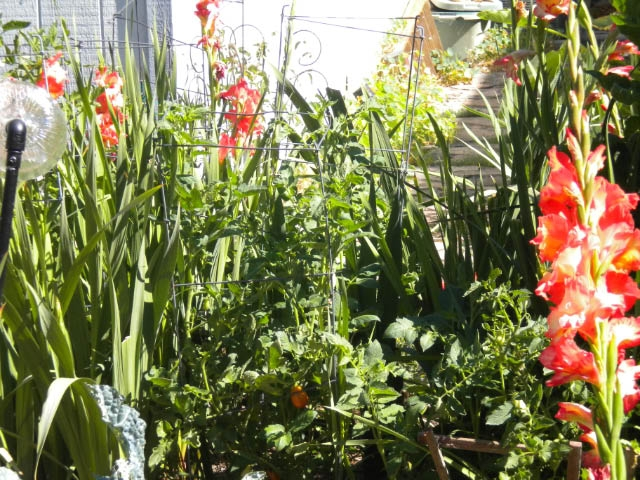 Gladiolus and tomatoes. (photos by Karen Metz)