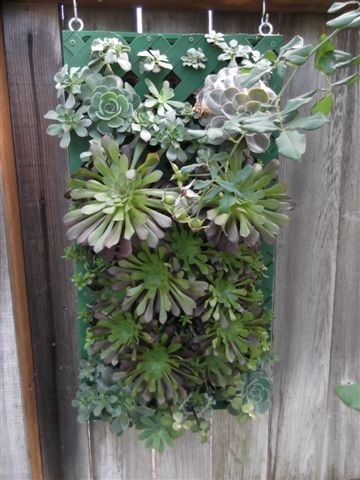 Succulents maturing in the box.