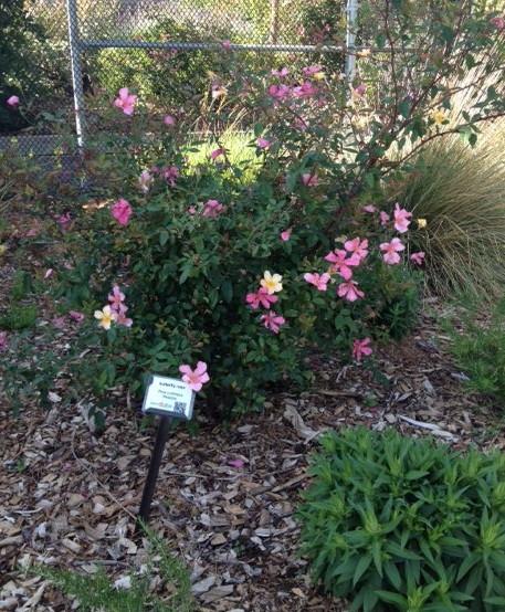 'Mutabilis' rose. (photo by Trisha Rose)