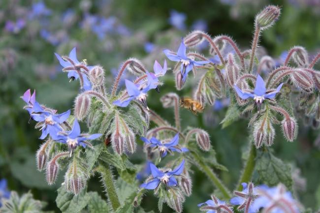 Bee visiting borage.