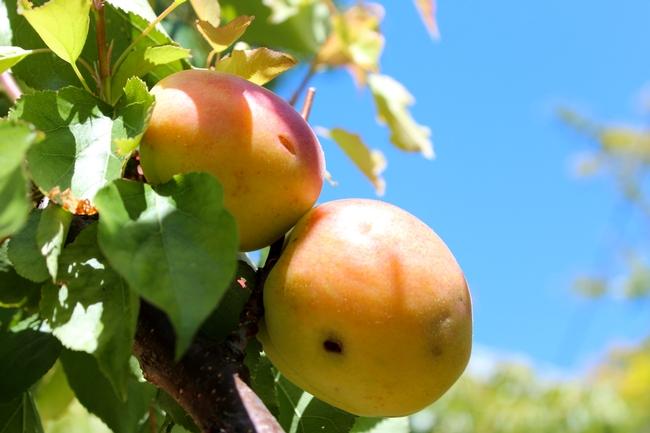 Apricot. (photos by Bud Veliquette)