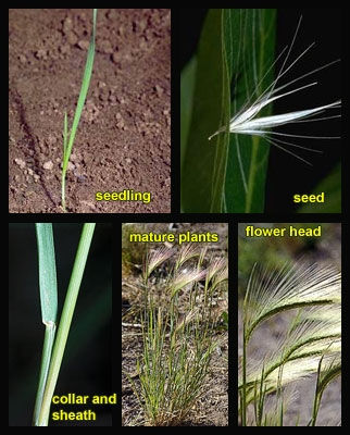 Foxtail barley (photo from UC IPM)