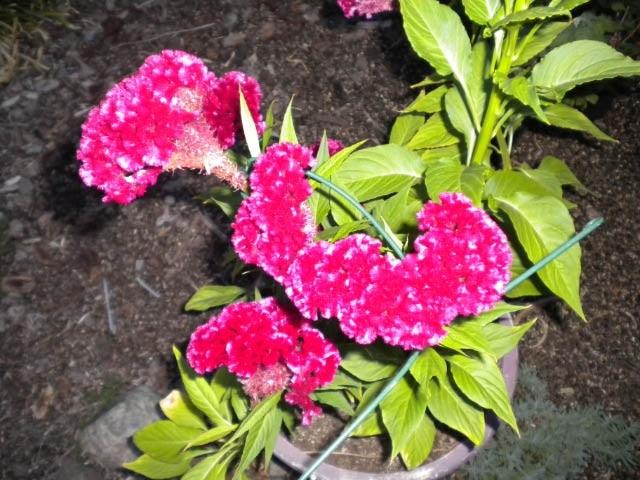 Celosia (photos by Karen Metz)