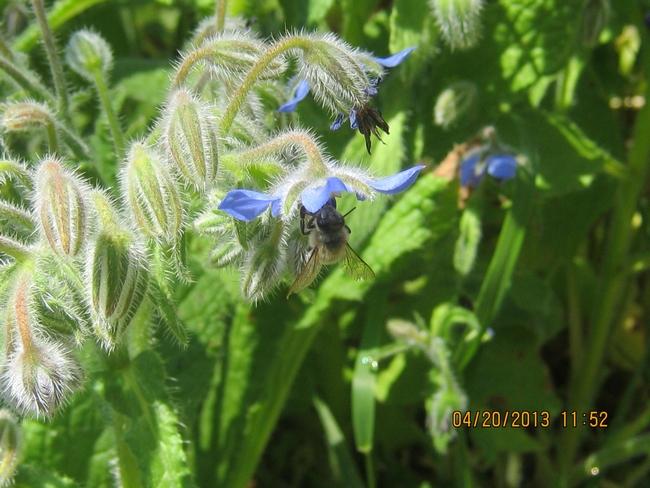 Honey bee on borage.