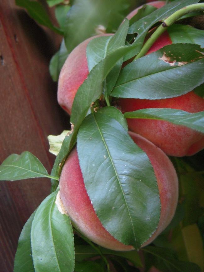 Peaches by Launa Herrmann