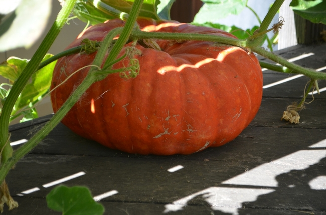 Rouge vif d'Etampes pumpkin. (photos by Erin Mahaney)