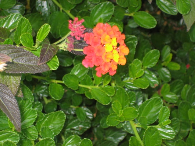 Lantana protected by Ceanothus. (photos by Bud Veliquette)