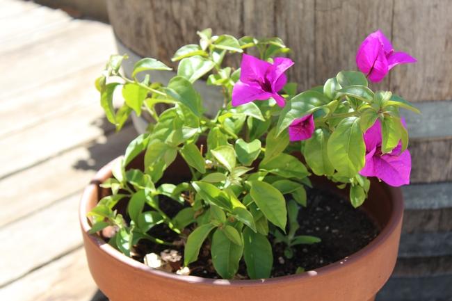 Bougainvillea beauty in a pot.