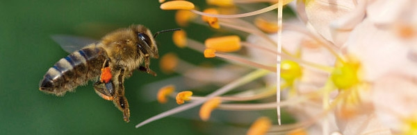 Photo courtesy of Bayer cropscience website of bee