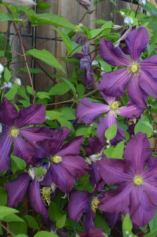Beautiful clematis. (Photos by Erin Mahaney)