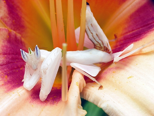 Orchid mantis (http://www.tropical-plants-flowers-and-decor.com/orchid-mantis.html)