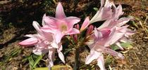 Gorgeous naked ladies. (photo by Lowell Cooper) for Under the Solano Sun Blog