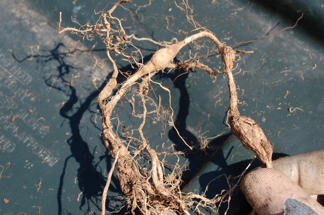 Close up of gnarled roots.