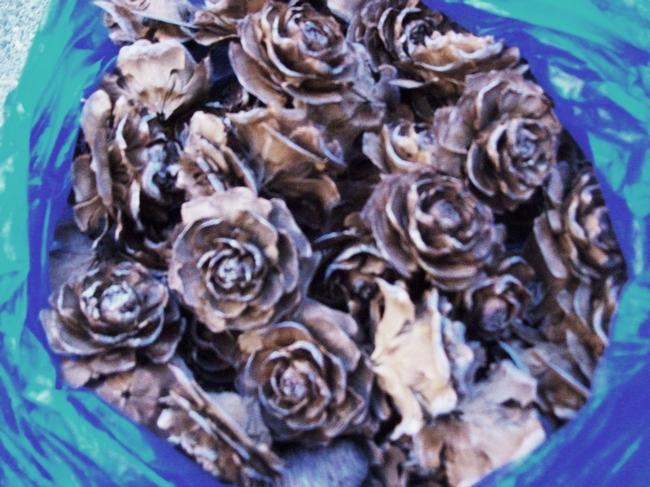 Deodar cedar cones. (photo by Betty Victor)