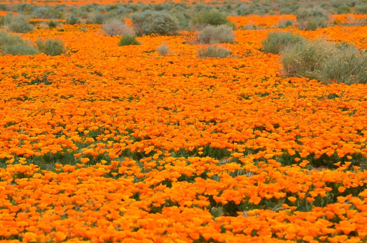 Fields Of Pure Gold The Antelope Valley Poppy Reserve
