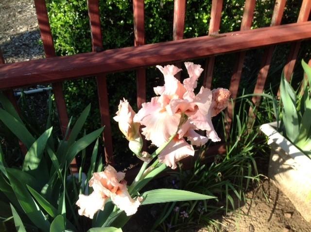 apricot iris jenni dodini