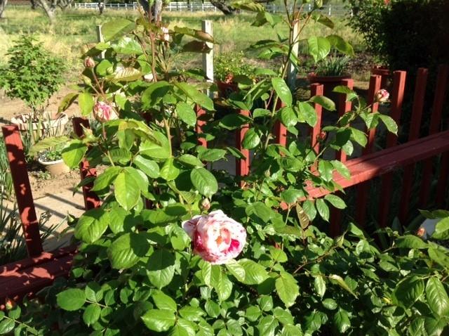 rose-jenni dodini