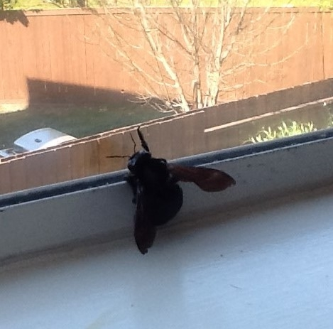 Bee dying in window. (photo by Cheryl Potts)