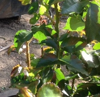 Aphids covering the rose stem on the left. (photo by Jenni Dodini)