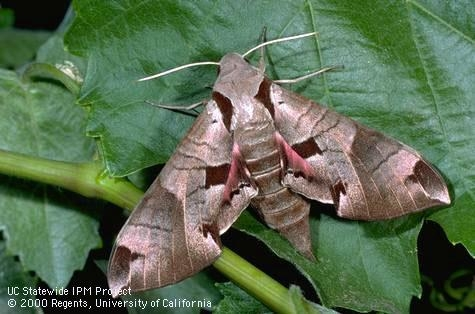adult Sphinx moth