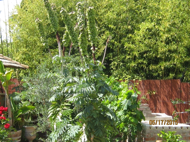 Tall flower spikes and interesting foliage of honeybush. (photos by Susan Croissant)