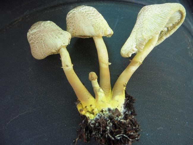 Yellow mushroom clump.