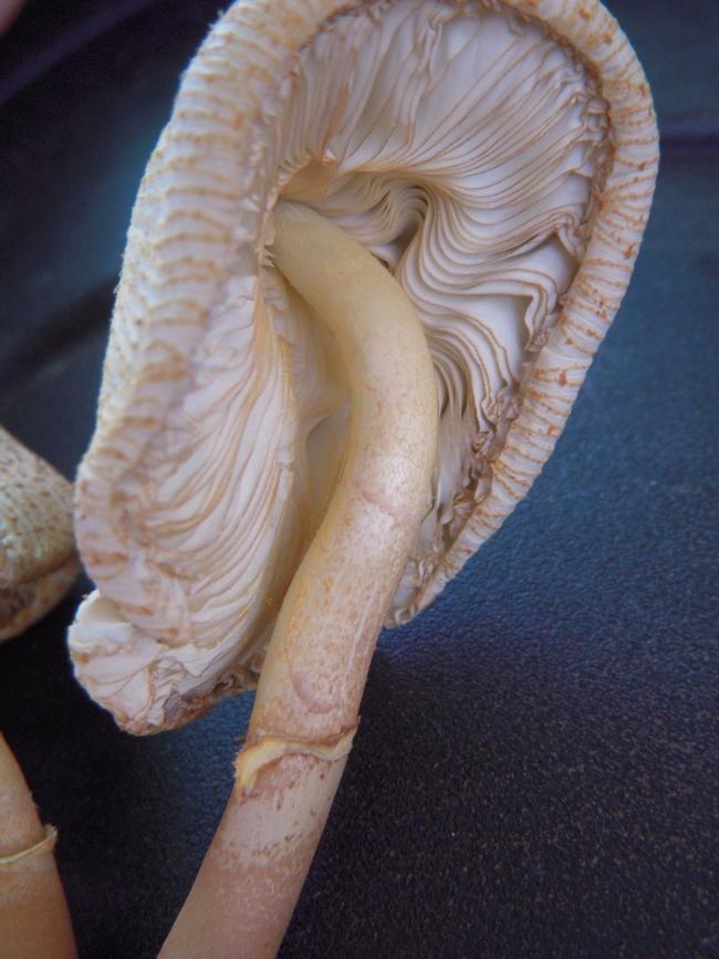 Yellow muhroom gills.