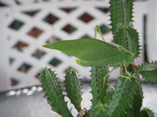 Kadydid on tabletop succulent.