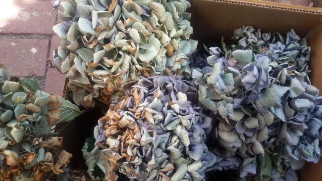 Dried hydrangeas. (photo by Betty Victor)