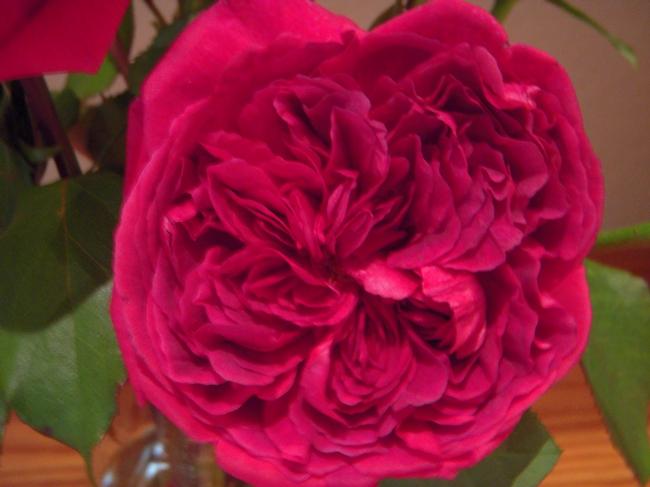 English rose closeup (photos by Launa Herrmann)