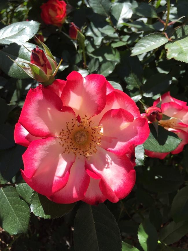 'Betty Boop' rose. photo by Jennifer Baumbach