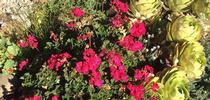 Pelargonium. photos by Trisha Rose for Under the Solano Sun Blog