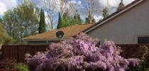 Wisteria (photo by Kathy Gunther) for Under the Solano Sun Blog