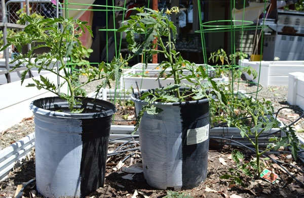 Tomato-start-May1-600